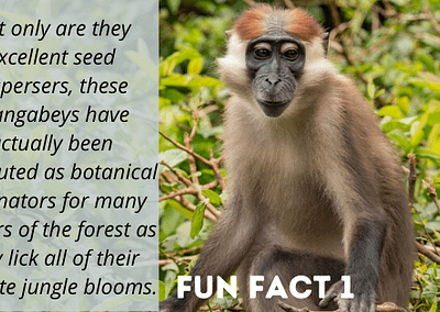 Red-Capped Mangabeys are well-known for their pollinating abilities thanks to their love for flowers and their nectors.