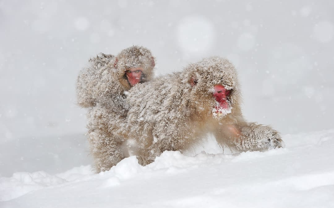 January Primate of the Month – Japanese Macaque
