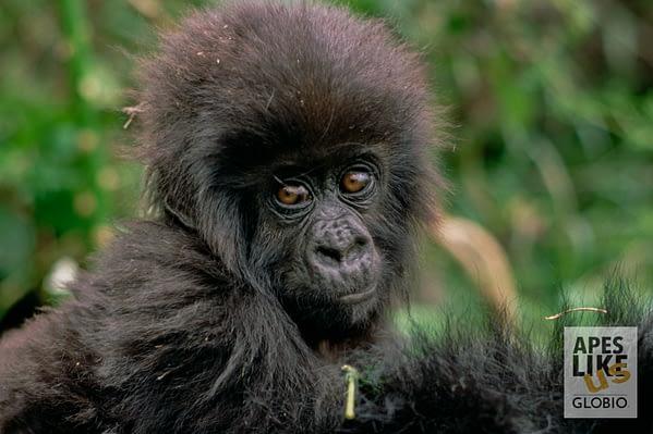 Mountain Gorilla (Gorilla gorilla beringei) baby