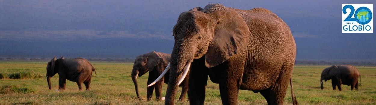 African Bush Elephant Banner