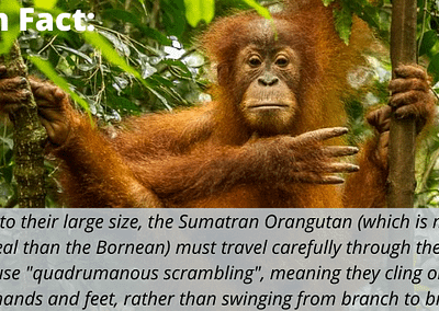 """Due to their large size, the Sumatran Orangutan (which is more arboreal than the Bornean) must travel carefully through the trees. They use """"quadrumanous scrambling"""", meaning they cling on with both hands and feet, rather than swinging from branch to branch."""