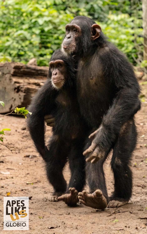 Two rescued chimpanzees bond at Mefou Primate Sanctuary