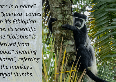 """Fun Fact: Colobus monkeys get their name from the Greek """"kolobus"""", meaning mutilated - referring to their lack of thumbs!"""