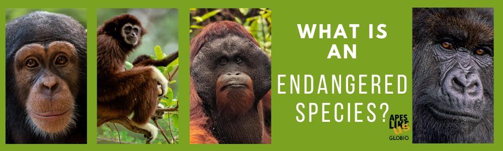 Photo Collage with Chimpanzee, Gibbon, Orangutan and Gorilla