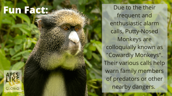 """Putty-Nosed Monkey Fun Fact- They are often called """"cowardly monkyes"""" due to their frequent alarm calls."""