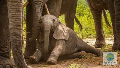 baby African elephant, Uganda