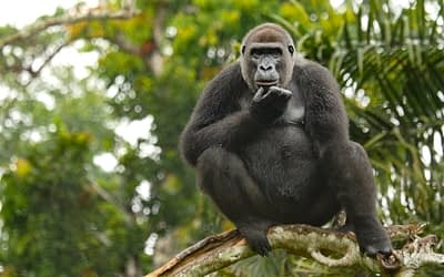 September Primate of the Month — Western Lowland Gorilla