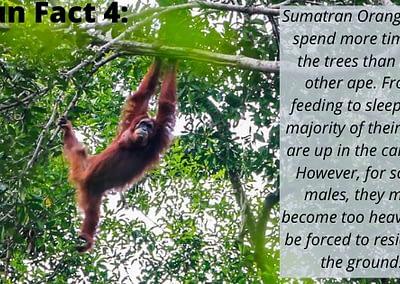 Sumatran Orangutan Fun Fact 4