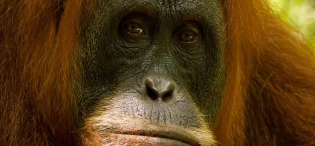 August Primate of the Month — Sumatran Orangutan