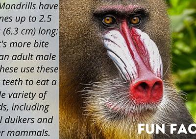 Mandrill Monkey Day Fun Fact