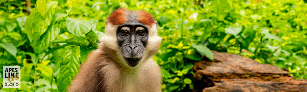 Young Red-Capped Mangabey looking straight into camera.