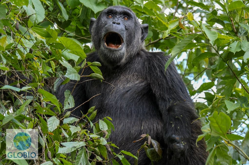 Chimp Politics — Day 8: Kibale & Kyambura Chimpanzees