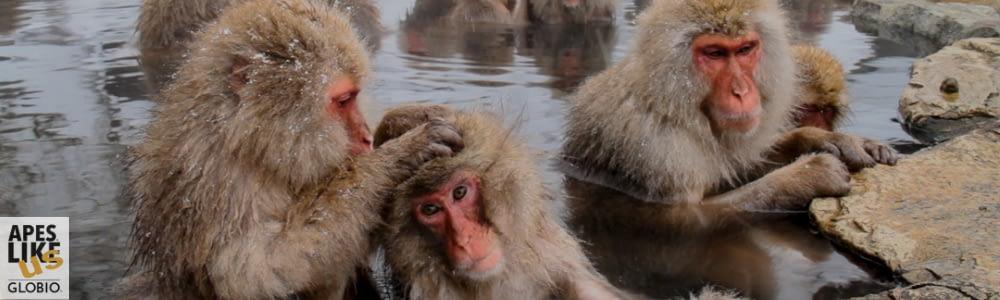Japanese Snow monkeys in hot springs getting groomed