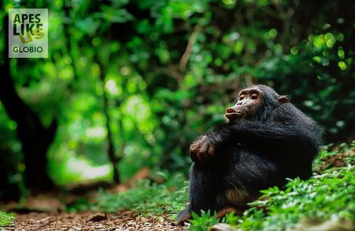 Chimp Frodo at Gombe Stream NP Tanzania