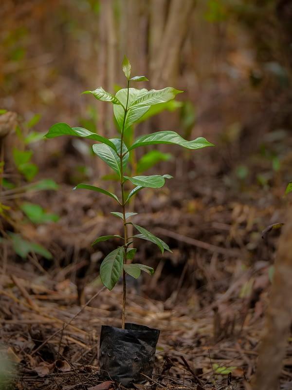 rainforest tree seedling from GLOBIO Borneo project