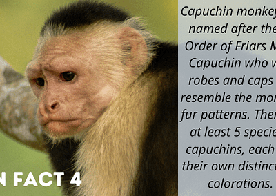 Capuchin fun fact- they are named after Capuchin friars whose robes resemble the monkeys.