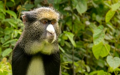 May Primate of the Month — Putty-Nosed Monkey