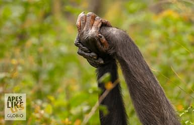 Hand clasping behavior at Chimfunshi Wildlife Orphanage, Zambia
