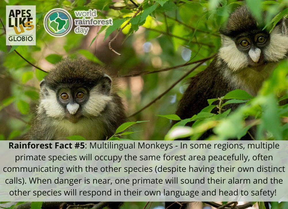 Rainforest Factoid 5 - Multilingual Monkeys