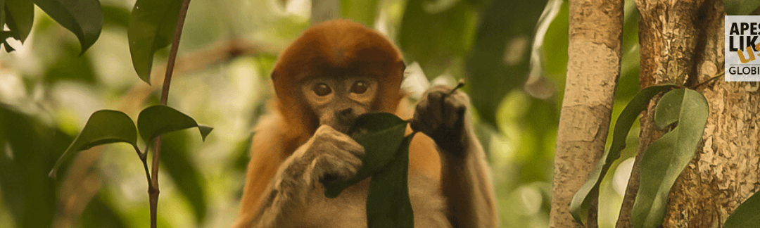 April Primate of the Month — Proboscis Monkey