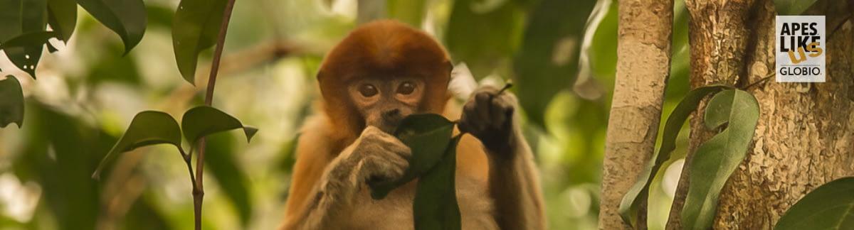 Proboscis Monkey eating leaf in tree