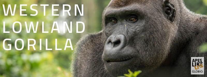 Western Lowland Gorilla Post Header