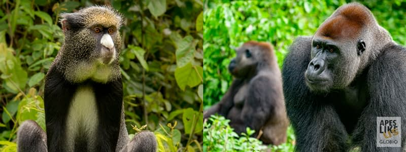 Putty-nose monkey and Western lowland Gorilla