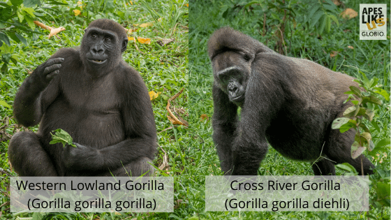 Western Lowland Gorilla versus Cross River Gorilla