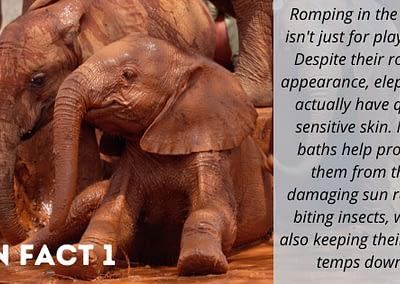 African Elephant Fun Fact 1