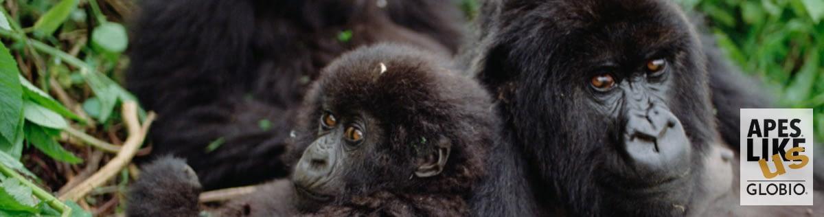 Two Mountain Gorillas look directly at camera, in Rwanda