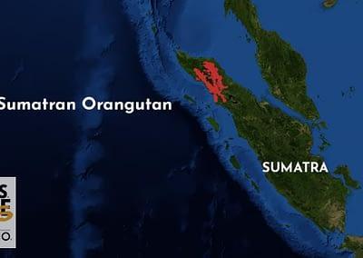 Sumatran Orangutan Fun Fact 6