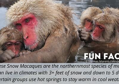 WMD POTM Fun Fact Japanese Snow macaques