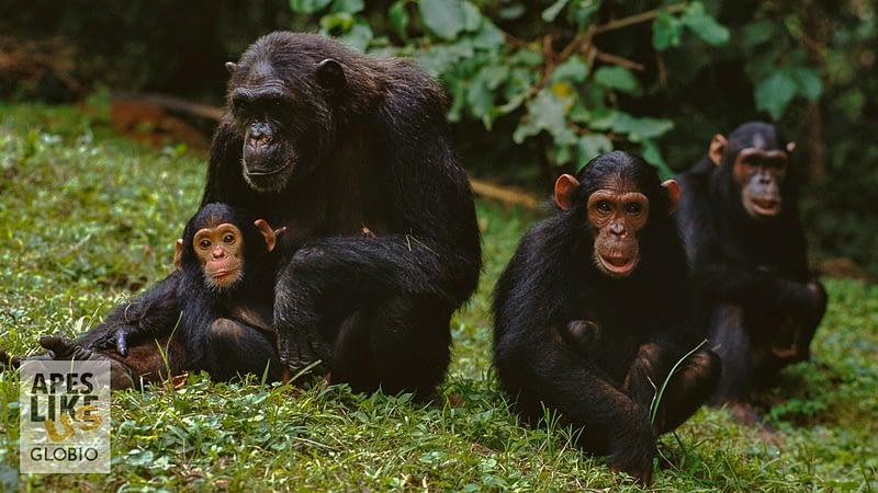 """""""F"""" family of Chimpanzee group, Gombe Stream National Park, Tanzania"""