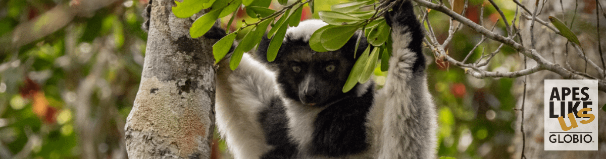 Indri Lemur in Tree in Madagascar