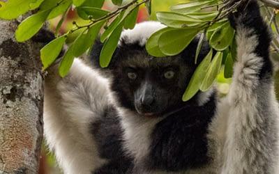 February Primate of the Month — Indri Lemur